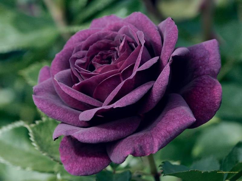 Часы «Чайная роза» от Guess