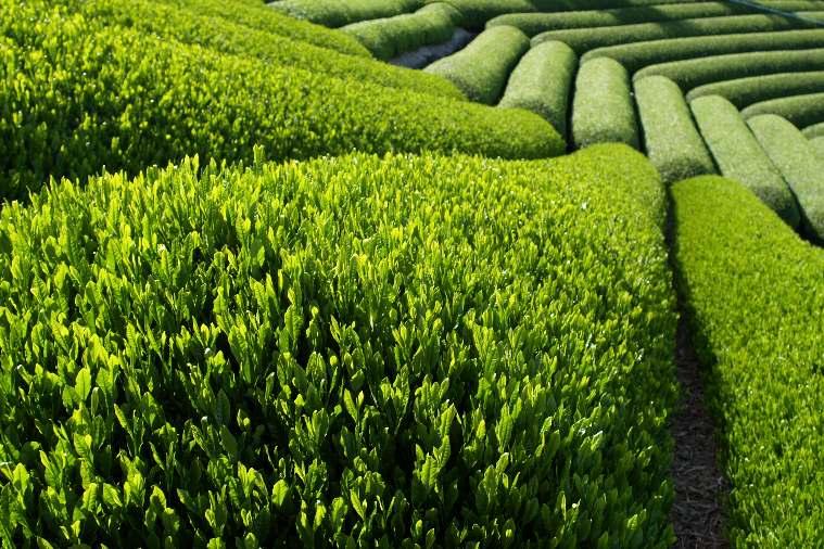 Зеленый чай полезен для организма